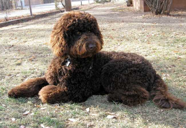 2012 desert-waves-labradoodle liberty 1