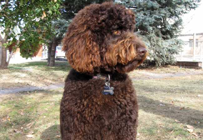 2012 desert-waves-labradoodle liberty 2