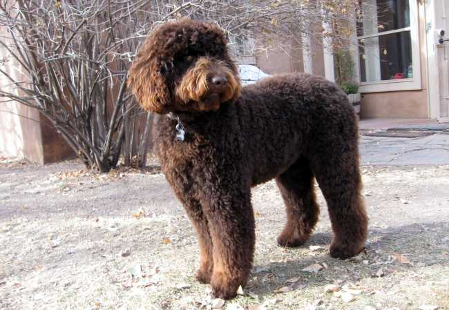 2012 desert-waves-labradoodle liberty 4