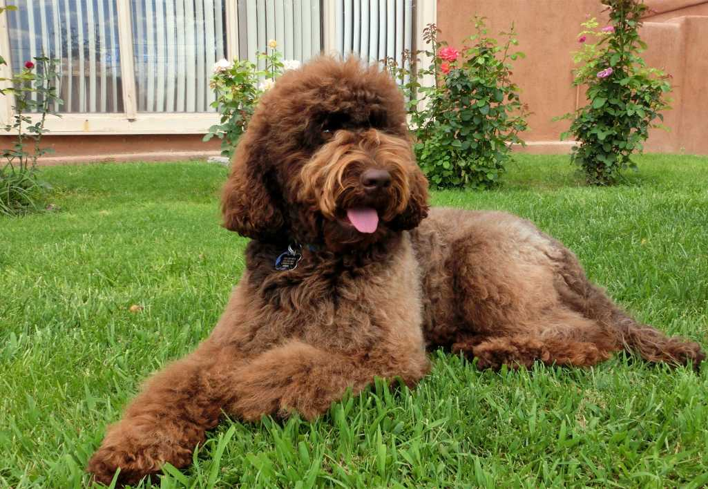 2013 desert-waves-labradoodle liberty