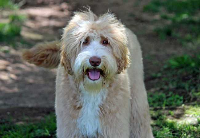 Multigen Australian Labradoodle Caramel and carries for Parti New Mexico