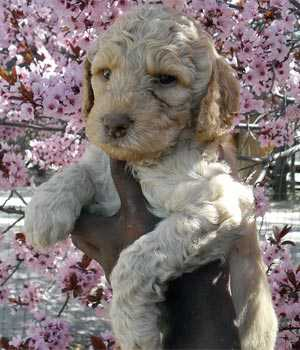 Labradoodle puppy donated through Make A Wish New Mexico Chapter