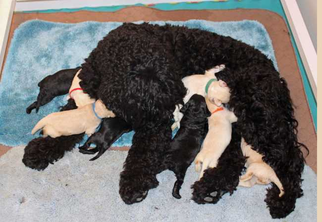 Multigen Australian Labradoodle cream and black litter