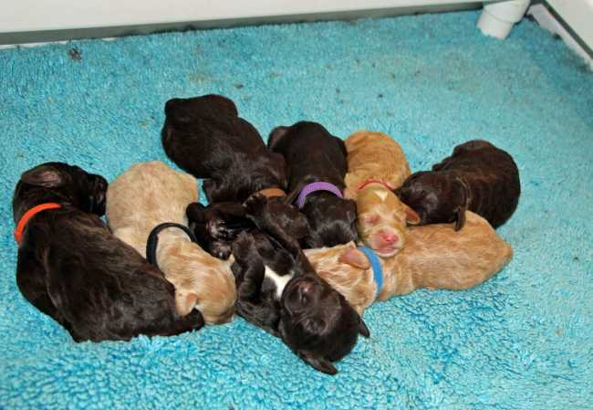 March 2017 Multigen Australian Labradoodle Litter