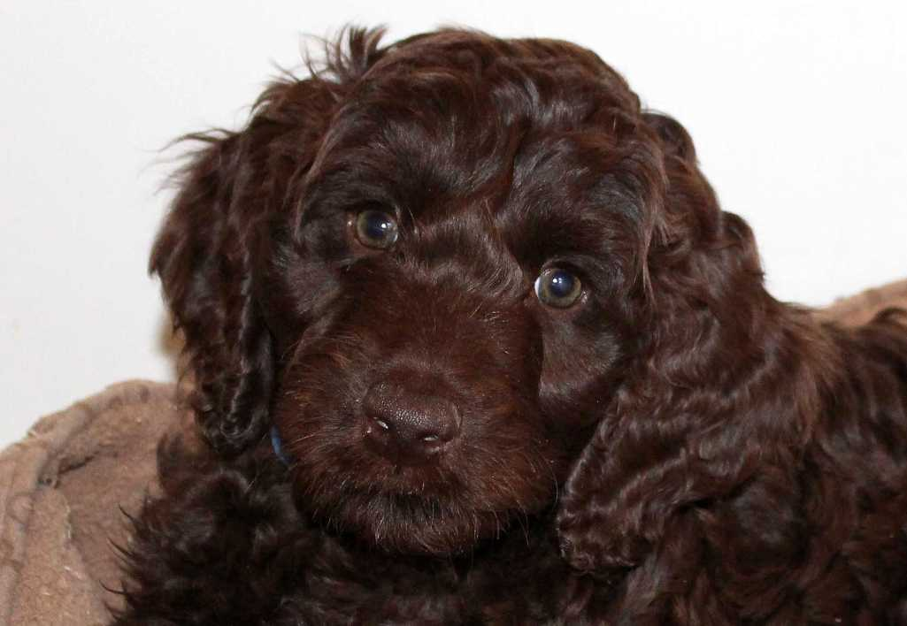 2014-04 labradoodle-puppy maple-blue