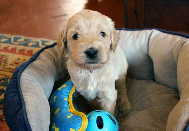 Labradoodle puppy from Liberty and Leader 2014 litter