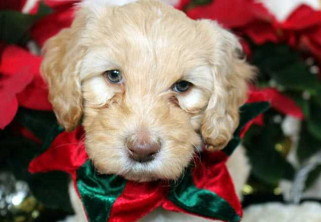 Australian Labradoodle Puppy, Chill in Christmas collar