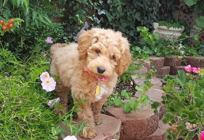 Mabel, Australian Labradoodle Puppy at home