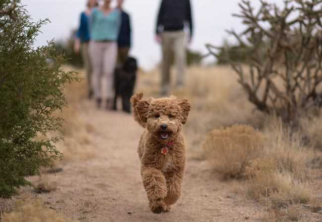 Mabel, Australian Labradoodle Puppy on a walk with her family