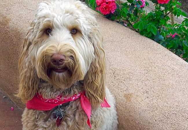 """""""Shiloh"""" Australian Labradoodle 2 years old from Liberty & Justin"""